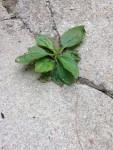 Plantain in concrete