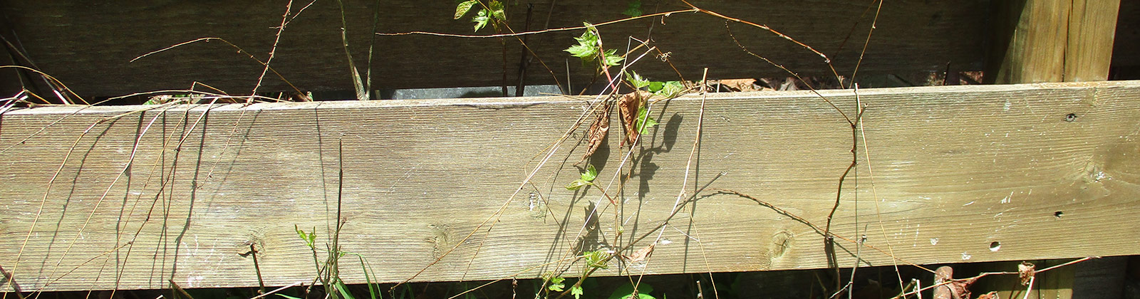 Vines grow on a wooden fence
